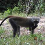 Resident Monkeys.