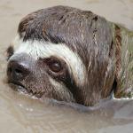 Swimming sloth deep at the jungle