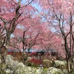 原谷苑の枝垂れ桜