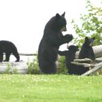 Black Bears in Backyard