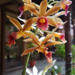 Orchids on verandah