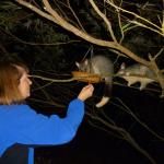 Feeding Brushtailed Possums at chalets