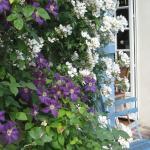 les rosiers et la clématite en fleur au printemps