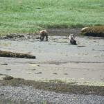Bears foraging