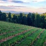 Engelheim Vineyard