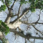 The Ceiba tree at Villa Mariano