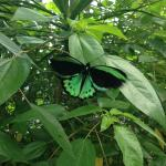 Butterfly, beautiful green colour.