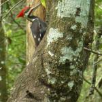 ileated Woodpecker January 2015