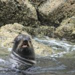 seal just risen from diving