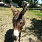 Donkeys in the paddock