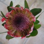 Wunderschöne Protea