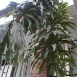 Corn plant (Dracaena fragrans) inside the pool atrium.