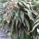Blooming corn plant (Dracaena fragrans) inside the pool atrium.