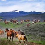 Horses running through sagebrush