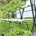 Part of Hydroponics garden. Fresh, crisp vegetables