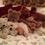 Our puppy making his self at home amongst the teddies