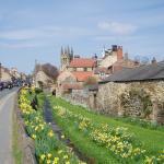 Helmsley Daffodils