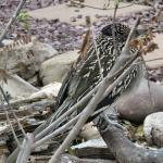 Roadrunner came to the water, but was shy.