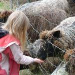 feeding our Costwold sheep