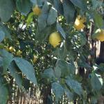 Lemon trees at Farm outside of Sorrento--Best meal ever!