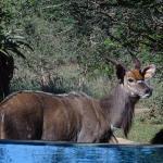 Neugiere Nyala-Besucher am Pool