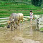 Water-buffaloes on the aqueduct bridge
