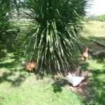 Free range poultry