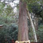 区民の誇りの木「スギ」の大木(カメラに納まらない高さがある)
