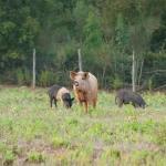 I nostri maialini , nel bosco, allo stato semi-brado