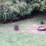 Pademelon in the yard