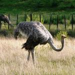 Its an Ostrich!