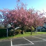 Cherry Blossom tree at the entrane to Brú Ború.