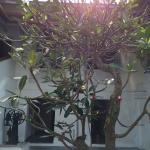 The Frangipani tree between the pool and the restaurant