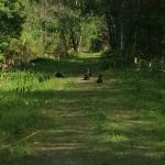 8 Otters playing in the trail