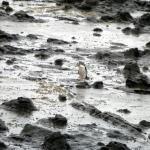 El pingüino de ojos amarillos y el bosque petrificado