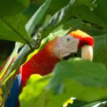 scalet macaw