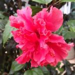 Particolare di un albero di ibiscus (fiore simbolo della Malesia) presente nella struttura