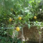 your own lemon tree.