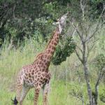 Beautiful Baby Giraffe