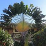Le palmier des voyageurs