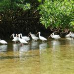 Ibis at the entrance to the tunnels in the Mangrove