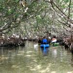 In the mangrove tunnel with Ibis!