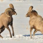 BigHorn Sheep Rutting In Jackson Hole