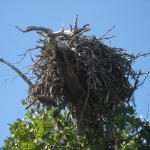 Eagle's nest in the mangroves