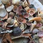 Seashell collection-Madeira Beach
