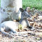 Australian mammal the Wallaby