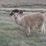 Lama or alpaca???