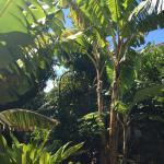 Ma'ika Tree