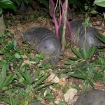 Armadillos we saw at night with our LED flash light