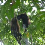 Troop of howler monkeys passing by